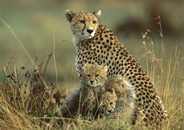 cheetahmaasai